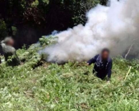 Aseguran SSP y Sedena plantío de marihuana en Madero