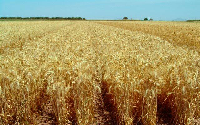 Produce Michoacán 226 mil toneladas de trigo: Sedrua